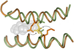 Mutations that occurred during the transformation between the ancestral protein (green) and its descendant (orange) would clash if put back to their original position.