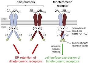 NMDA receptors: triple-quadruple axel