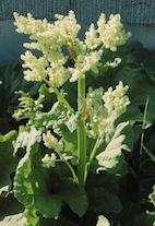 Rhubarb_Flower