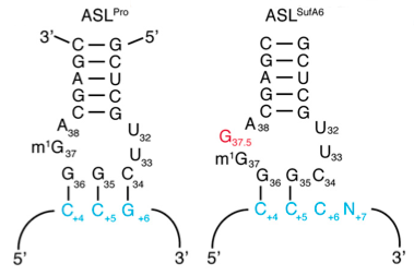 Normal tRNA on left, suppressor tRNA on right. The red G is not in the position suggested by the yardstick model.