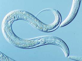 Unexpected mechanism for a longevity lipid