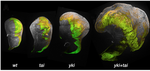 Green marks the posterior compartment of Drosophila wing imaginal discs. Note the bulging overgrowth driven by Yorkie plus Taiman. From Zhang et al. Dev. Cell 2015, courtesy of Cell Press.