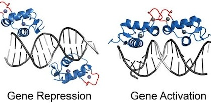 Ancient protein flexibility may drive 'new' functions